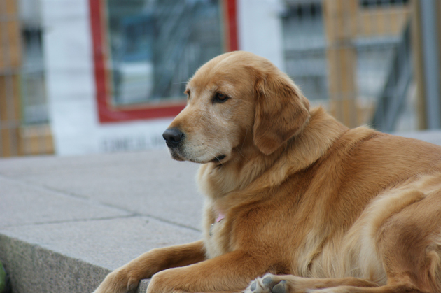 Canadian_Golden_Retriever-web