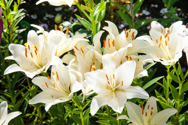 Got an Easter lily? Plant it.
