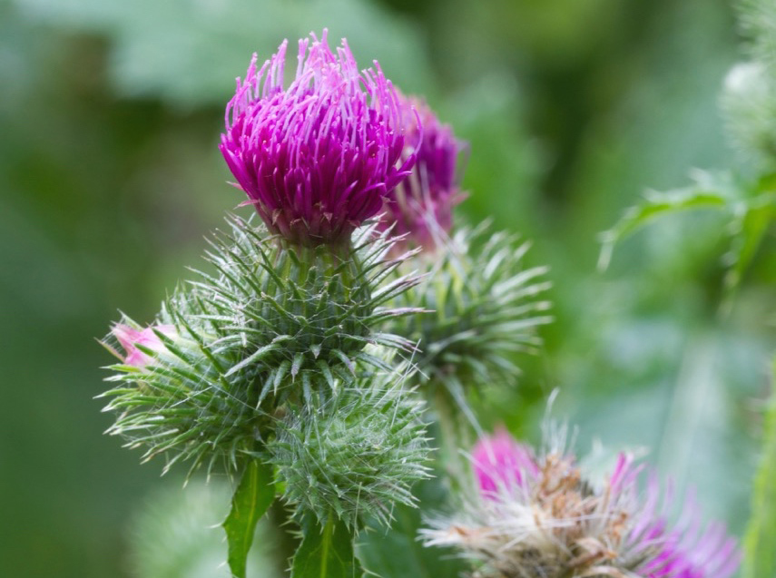 Canada thistle seedlings are easily mistaken for Oriental poppies.