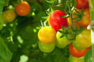 Water consistently for a healthy tomato crop.