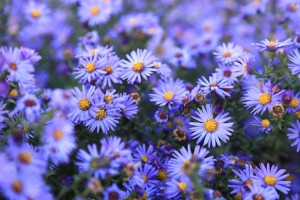 Asters offer great fall color while being a favorite with pollinators.