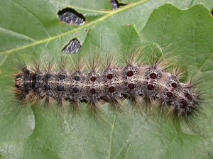 Gypsy moths feed on over 300 different types of trees and shrubs and can defoliate large sections of forests, according to the Minnesota Department of Agriculture. The department has proposed treating an area of Richfield and Armatage this spring, after finding male moths and egg masses in the area. Photo courtesy Minnesota Department of Agriculture