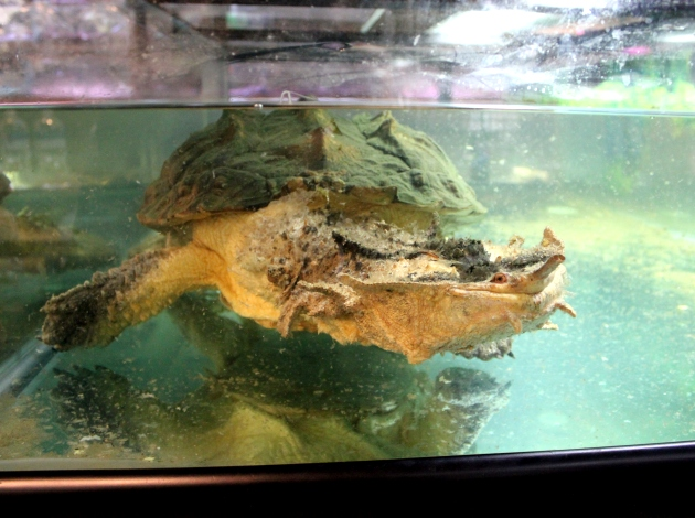 Lynda, a mata mata turtle, has lived at Aqualand Aquarium Center for 40 years.