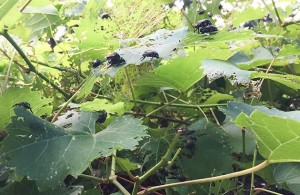 Japanese beetles attacking a vine. Photo by Meleah Maynard.