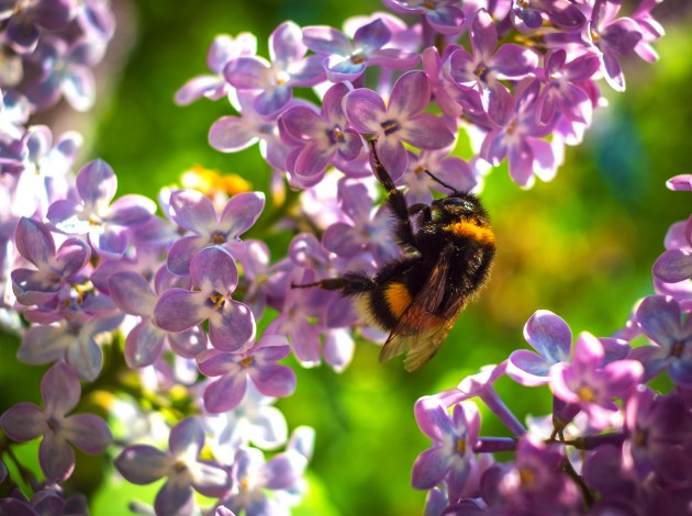 bumblebee pollinating a flower lilac