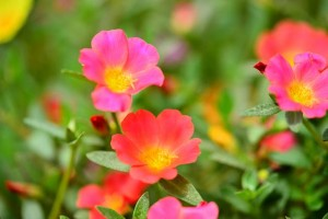 Moss roses look great in containers or as a groundcover.