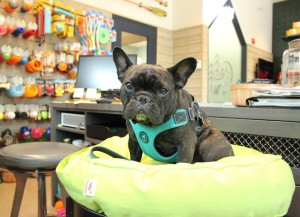 Audrey is the shop dog at Copilot Dog Outfitters.