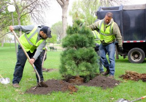 Arborists Chris Watson and Nick Hart plant a white pine where a tree was removed in Loring Park. Photo by Eric Best