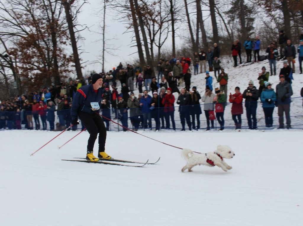 Steve Young of Minneapolis skis in the Chuck & Don's Skijoring Loppet and One-Dog National Championship with Hugo, a bichon maltese mix, Feb. 2 at Theodore Wirth Park. Hugo was perhaps the smallest dog in the race. Photo by Nate Gotlieb