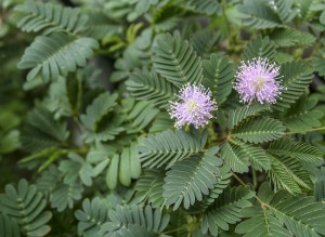 Mimosa in bloom