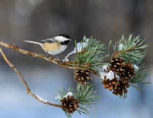 Black-Capped Chickadee Perched on Pie Tree Branch with Cones