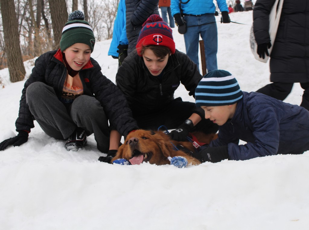 A very tired golden retriever named Rudy lies in the snow after finishing the Chuck & Don's Skijoring Loppet and One-Dog National Championship Feb. 2 at Theodore Wirth Park. Photo by Nate Gotlieb