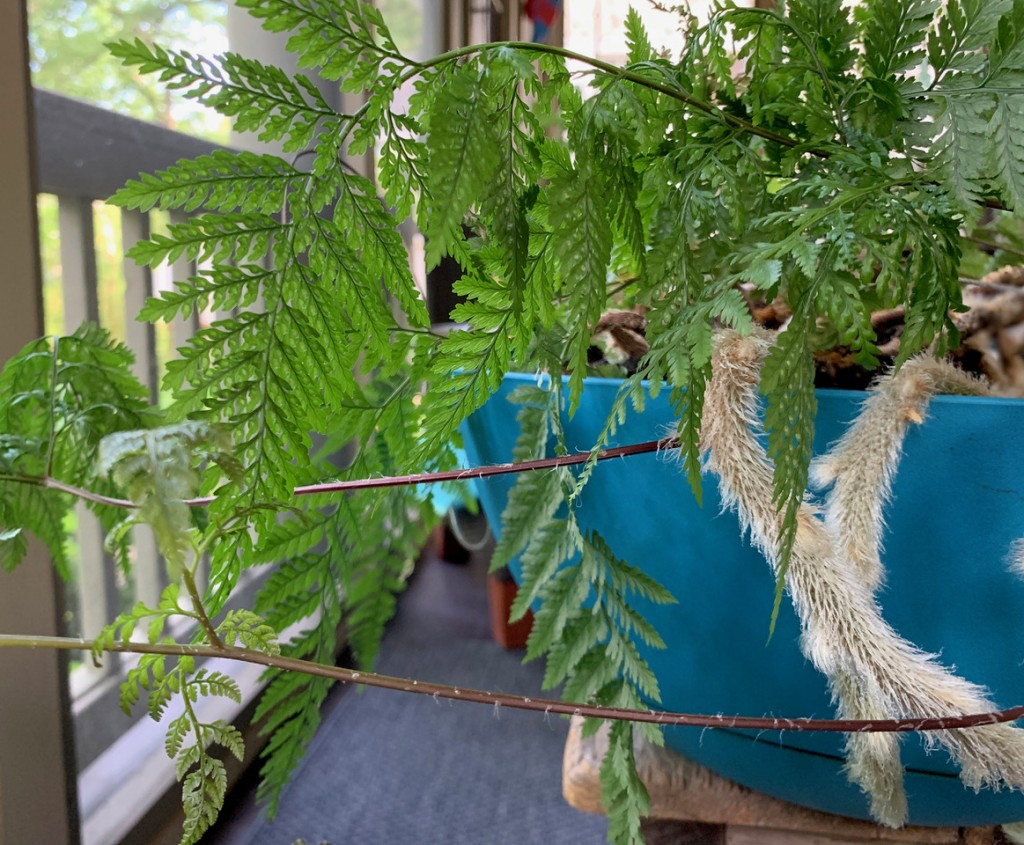 Nancy's rabbit's-foot fern